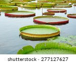 Giant Lily Pads In Water At...