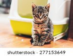 Adorable Brown European Kitten...