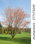 Small photo of Acer pseudoplatanus 'Brilliantissimum'