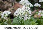 Small photo of Field Garlic (Allium oleraceum)