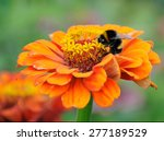 Bumblebee On The Orange Flower...