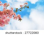 Blooming Cherry Tree Branches...