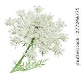 Queen Anne's Lace.hand Drawn...