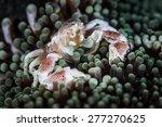 A Porcelain Crab ...