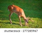 Whitetail Buck With Velvet On...