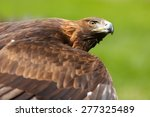 Golden Eagle Looking To Up