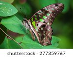 Graphium Agamemnon Butterfly O...