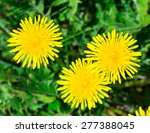 Yellow Dandelions On A Sunny...