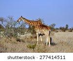 female giraffe in africa with a ... | Shutterstock . vector #277414511
