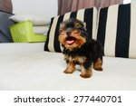 Stock photo teacup yorkshire terrier puppy 277440701