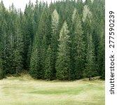Healthy Coniferous Trees In...