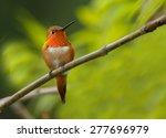 Rufous Hummingbird Male Perche...
