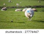 Sheep Grazing In A Lush Green...