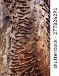 Small photo of Ant (Lasius platythorax) nest structure at dead pine-tree. Photographed at N6va, North-West of Estonia, Europe.