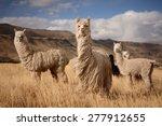 Llamas  Alpaca  In Andes...
