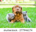Stock photo two small kittens sitting on green grass with bordeaux puppy dog 277946174