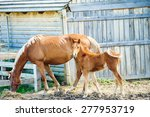 young foal with his mother in a ... | Shutterstock . vector #277953719