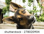 Stock photo funny face dog looking at the camera curious german shepherd dog 278020904