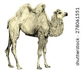 bactrian camel image. pencil...   Shutterstock . vector #278061551