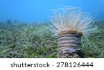 Anemone With Flowing Tentacles...