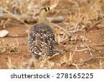 Small photo of Double banded sandgrouse walking on the hot sand in summer