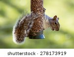 Eastern Gray Squirrel Stealing...