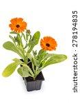 Marigold Flowers  Calendula...