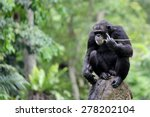 An Adult Chimpanzee With Blurr...