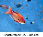 Sea Goldie Fish In Blue Water...