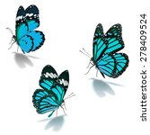 Stock photo three blue monarch butterfly isolated on white background 278409524