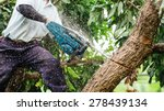 woodman uses his chainsaw cut the tree. - stock photo