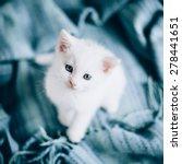 Stock photo small white kitty on blue background kitty is very cute small white kitty 278441651