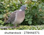 Wood pigeon perching on a garden fence with a green background