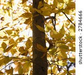 Small photo of Close-up of American Beech tree branches covered with yellow Fall leaves.