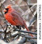 Small photo of Northern Cardinal (Cardinalidae) adult male perched on a tree branch. Central Park, New York, NY.
