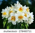 Nice White Daffodil In Dark...