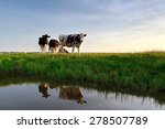 Cows On Pasture Reflected In...