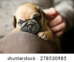 Stock photo a cute chug pug puppy on a lap being petted looking at the camera shallow dof on the nose 278530985