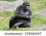 Portrait Of A Young Gorilla