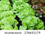 rows of fresh lettuce plants in ...   Shutterstock . vector #278652179