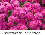 Beautiful Of Chrysanthemum Pin...