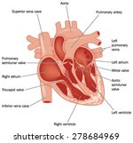 cross section through the heart ... | Shutterstock .eps vector #278684969