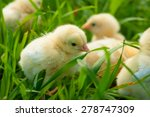 Yellow Chicks On Green Grass