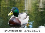 Male Mallard Duck On Yellow...