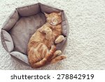 A Ginger Cat Sleeps In His Sof...