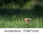 Stock photo brown hare lepus europaeus 278871164