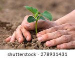 planting seedling of cucumber | Shutterstock . vector #278931431
