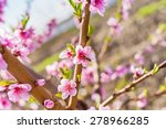 Cherry Blossom  Cherry Tree ...