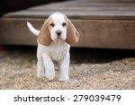 Stock photo cute puppy beagle 279039479