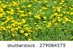 field with yellow dandelions... | Shutterstock . vector #279084575